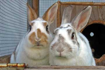 Pet sitting bunny rabbits