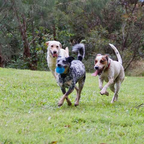 Gold Coast dog boarding kennels